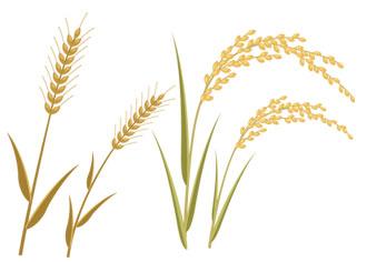 イノシトールは穀物の糠に多く含まれます